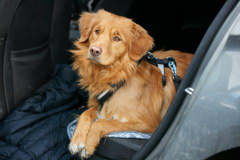 Lemmikkieläin kulkee autossa turvallisimmin autoon kiinnitetyssä kopassa tai valjaissa